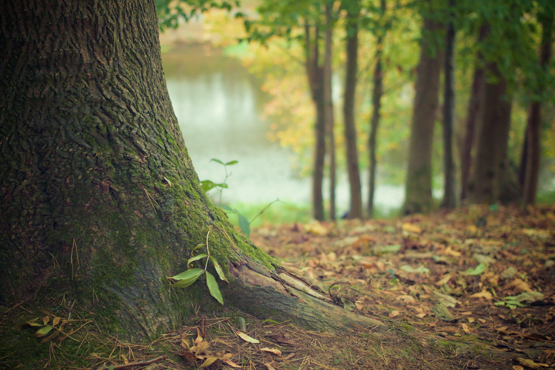 Fotobanka sbezplatnými fotkami na tému HD tapeta, kmeň stromu, mach, príroda