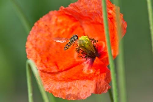 Photos gratuites de fleur de pavot, syrphe