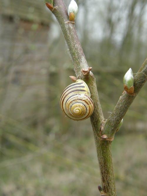 Free stock photo of branch, buds, pattern, snail
