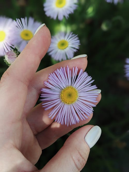 Free stock photo of 4k wallpaper, aster, asters, beautiful flower