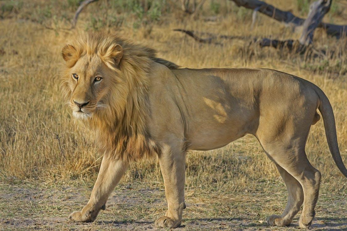 Àfrica, animal, animal salvatge