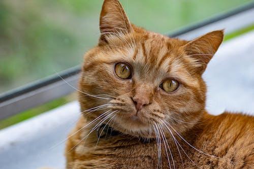 Gratis stockfoto met grote kat, kat, kattenogen, lief