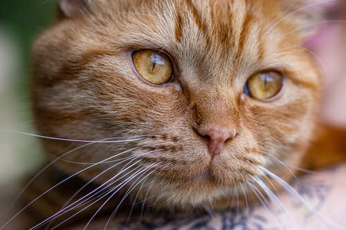 Gratis stockfoto met heel mooi, kat, prachtig, schitterend