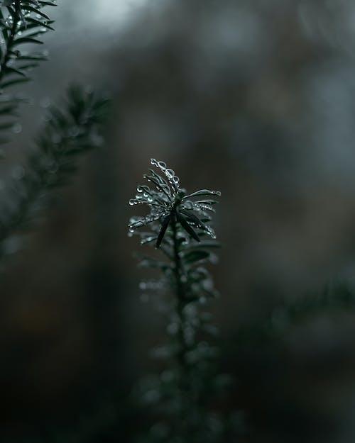 Fotobanka sbezplatnými fotkami na tému borovica, chladný, dážď, dekorácia