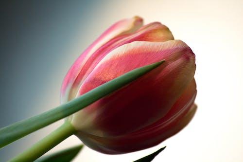 Macro Shot of a Tulip in Bloom