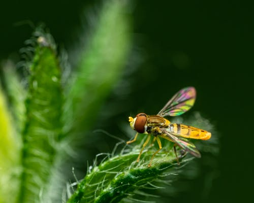 Closeup of colorful hoverfly sitting on green textured leaf of plant at daytime