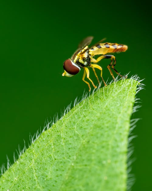 Yellow hoverfly sitting on green leaf