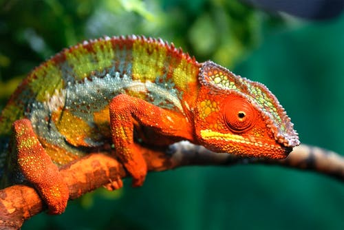Close-Up Shot of a Chameleon Perched on a Tree Branch