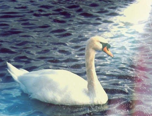 光反射, 天性, 天鵝, 復古 的 免費圖庫相片