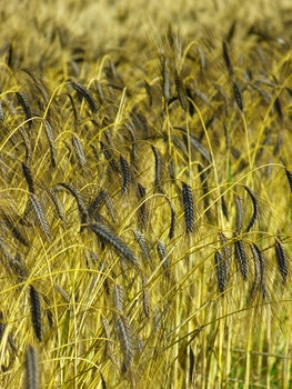 Green Wheat Grass at Daytime Photography