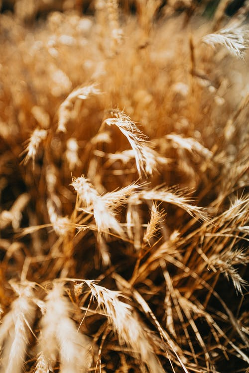 Closeup shot of orange spikelets fluttering on wind and growing in agricultural meadow during sunny day