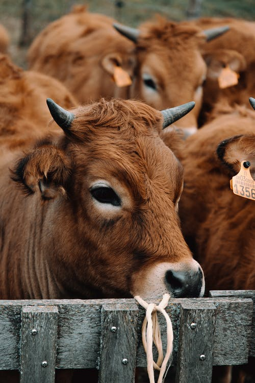 Shallow Focus Photo of Brown Cow Near Wooden Fence