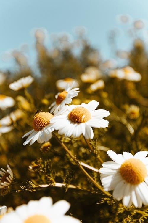alan derinliği, Beyaz çiçekler, beyaz papatyalar içeren Ücretsiz stok fotoğraf