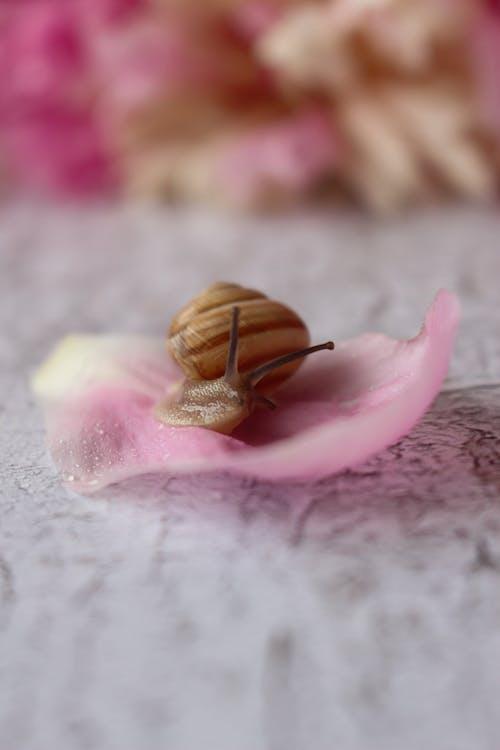 Brown Snail on Pink Petal