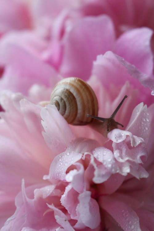 Brown Snail on Pink Flower