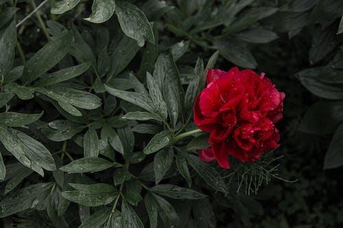 Gratis stockfoto met bladeren, bloemen, donkergroene bladeren, groen