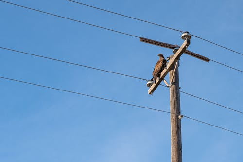 Buteo rufofuscus on utility pole surrounded by wires under clear sky