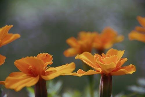 Free stock photo of blooming flowers, orange flowers