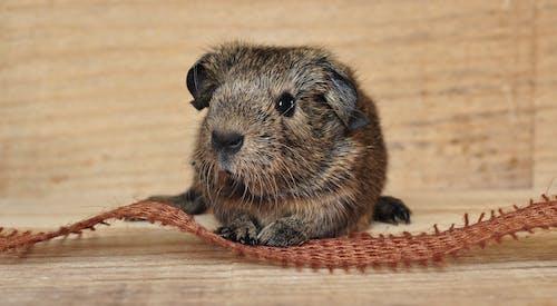 Kostenloses Stock Foto zu braun, häuslich, haustier, meerschweinchen