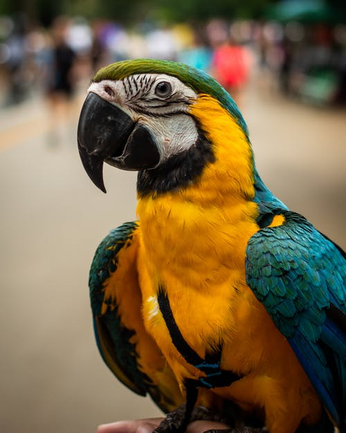 Colorful yellow and blue macaw parrot sitting on crop hand of person on crowded street