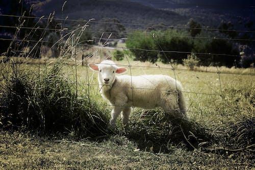 Photos gratuites de agneau, animal, barrière, clairière