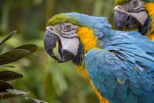 Δωρεάν στοκ φωτογραφιών με άγρια φύση, γκρο πλαν, ζώο, μακάο