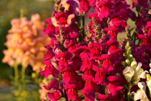 紅花, 美丽的花, 花 的 免费素材图片