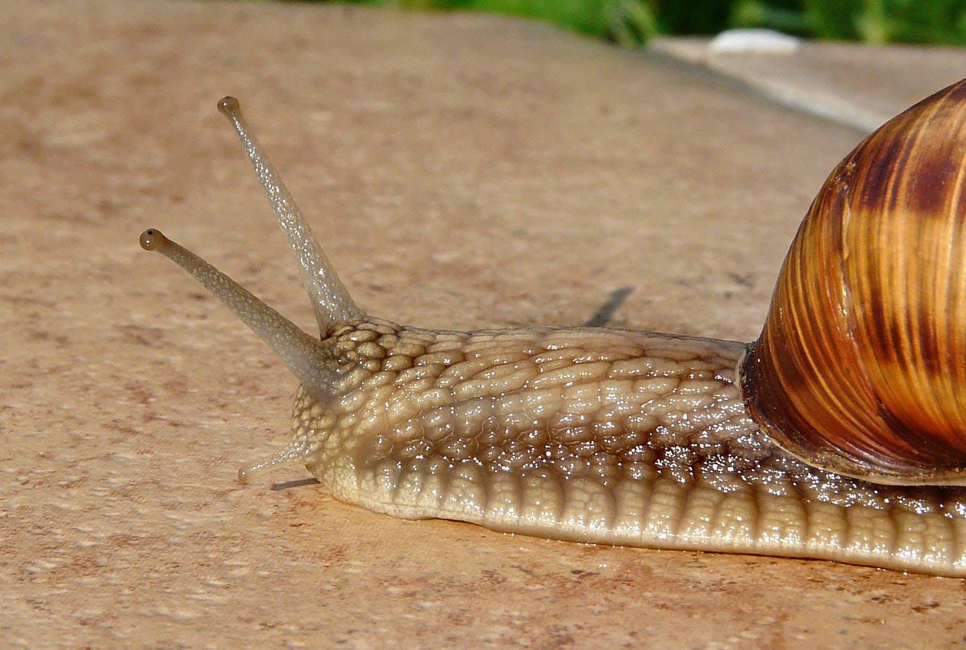 Ingyenes stockfotó csiga, csúszós, makró, meztelencsiga témában