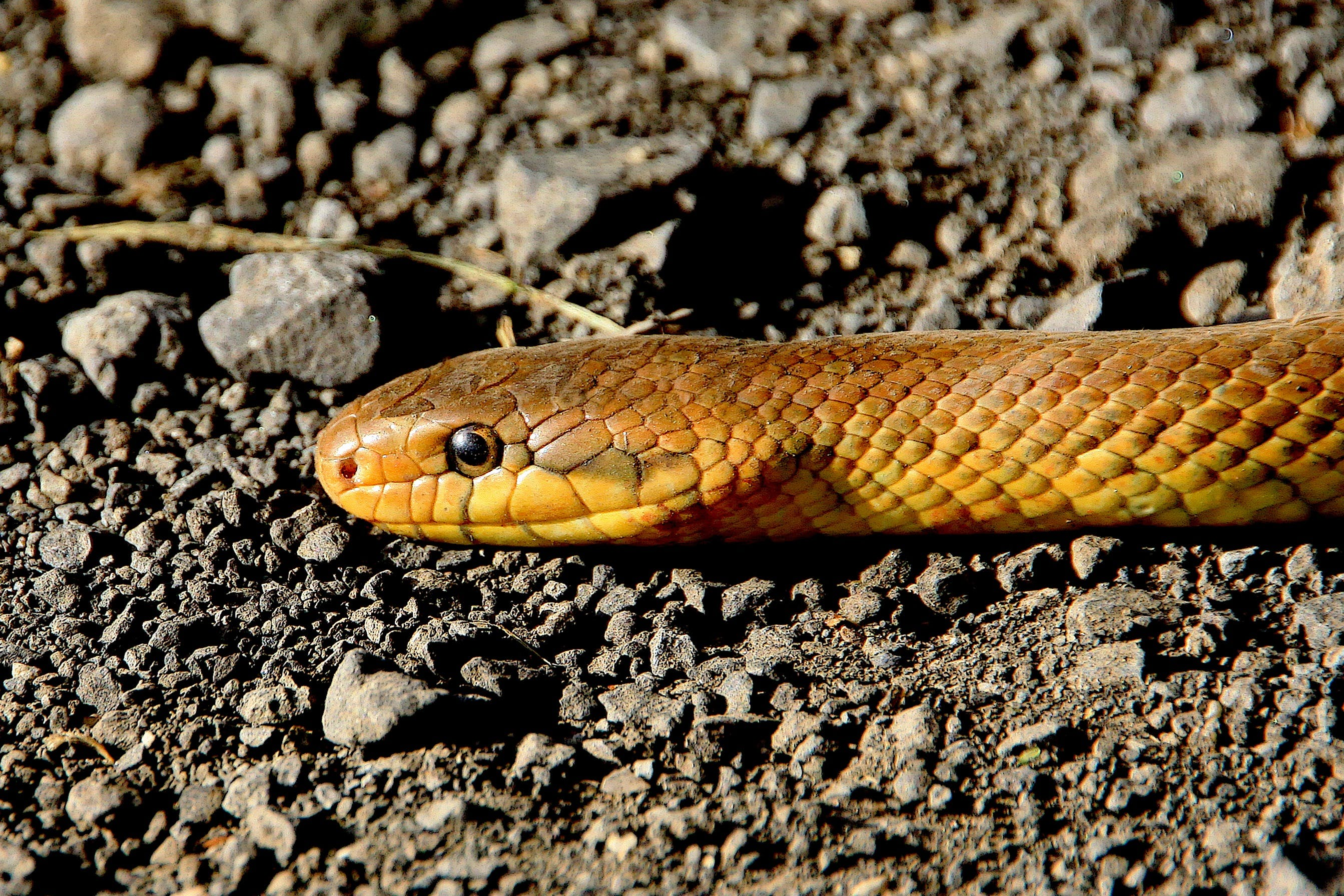 Yellow Brown Snake on Ground