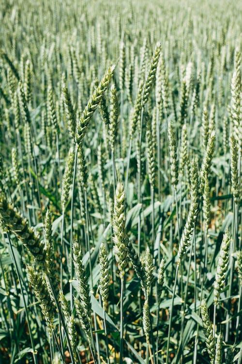 Kostenloses Stock Foto zu feldfüchte, getreide, korn