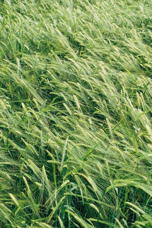 Ảnh lưu trữ miễn phí về bánh mỳ, cánh đồng, cánh đồng lúa mì