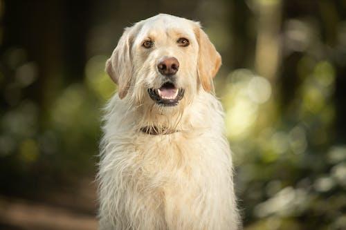 White Long Coated Dog With Yellow Eyes