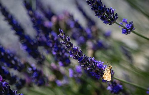 Ilmainen kuvapankkikuva tunnisteilla koi, kukkiva laventeli, yöperhonen