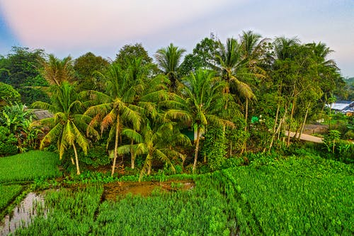 Green Coconut Trees Under Blue Sky