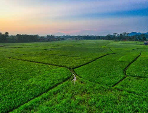 Photo of Rice Field