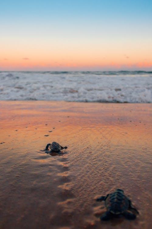 Kostenloses Stock Foto zu braune schildkröte, draußen, flacher fokus, kriechen