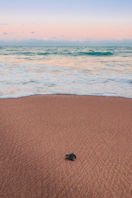 Kostenloses Stock Foto zu braune schildkröte, draußen, kriechen, meeresküste