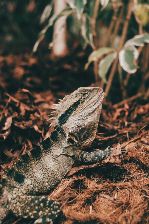 Brown and Black Bearded Dragon on Brown Dried Leaves