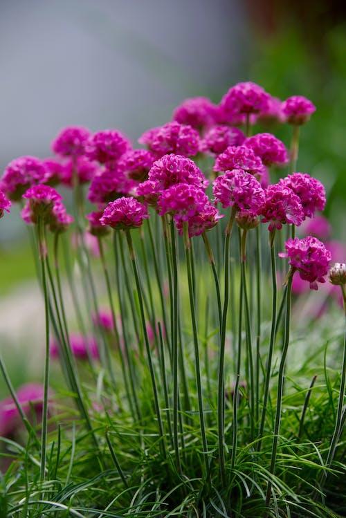 Close-Up Shot of Armera Maritima Flowers in Bloom