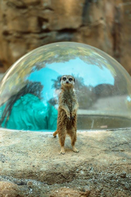 Δωρεάν στοκ φωτογραφιών με meerkat, άγρια φύση, άγριος