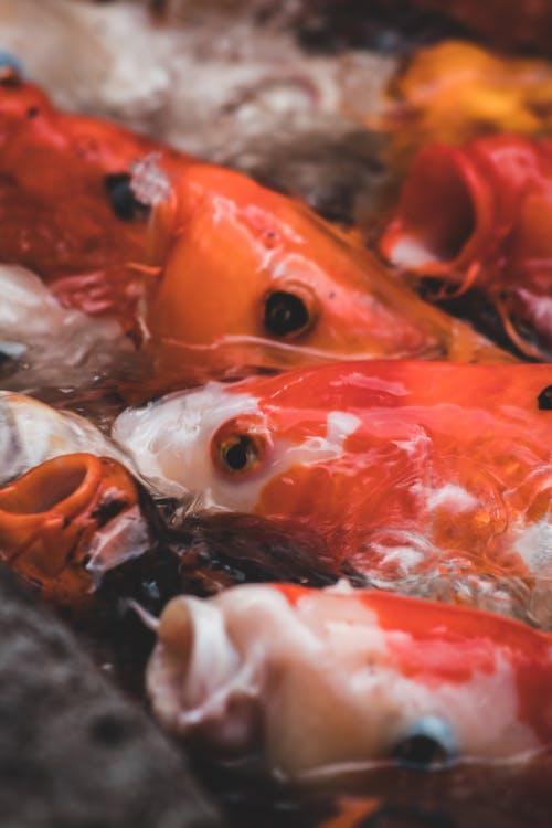 Close Up Photo of Koi Fishes Underwater