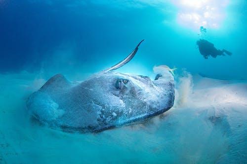 Big Stingray Underwater
