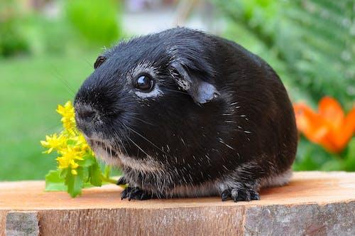 Ảnh lưu trữ miễn phí về cận cảnh, chuột lang, con vật, dễ thương