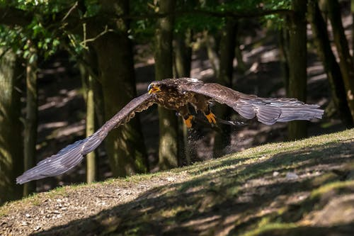 Eagle Flying in the Air