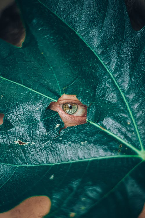 Closeup of textured green large leaf of plant surrounding human eye looking at camera