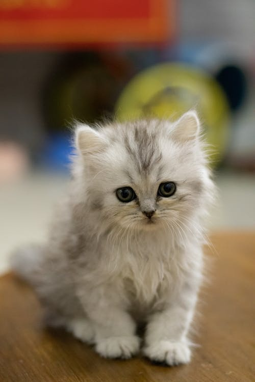 White and Gray Long Fur Kitten