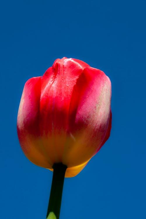 Free stock photo of red tulips, tulip