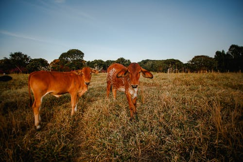Brown Cows on Brown Grass Field