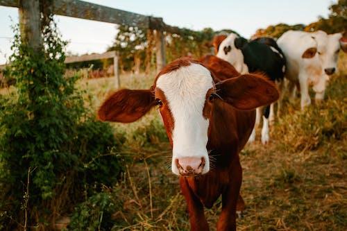 Gratis stockfoto met akkerland, beest, boerderij