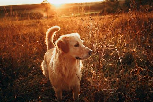 Golden Retriever on Brown Grass Field